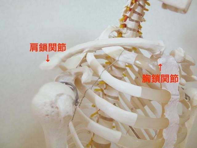 肩周辺の骨格写真