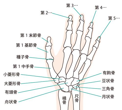 手の関節イラスト