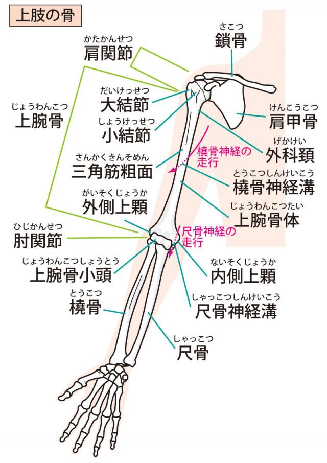 腕の骨格イラスト