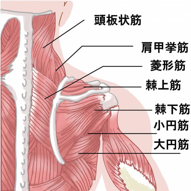 頚椎イラスト