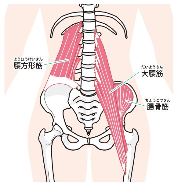 骨盤周りのインナーマッスルイラスト